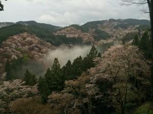 4月7日雨の後の霧とさくら
