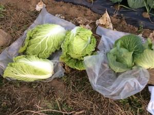 10月27日白菜とキャベツ収穫