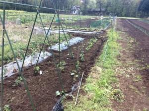 4月29日トマトときゅうり、茄子とピーマン